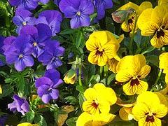 Violaceae Violas 3 per Emma Forsberg a Flickr