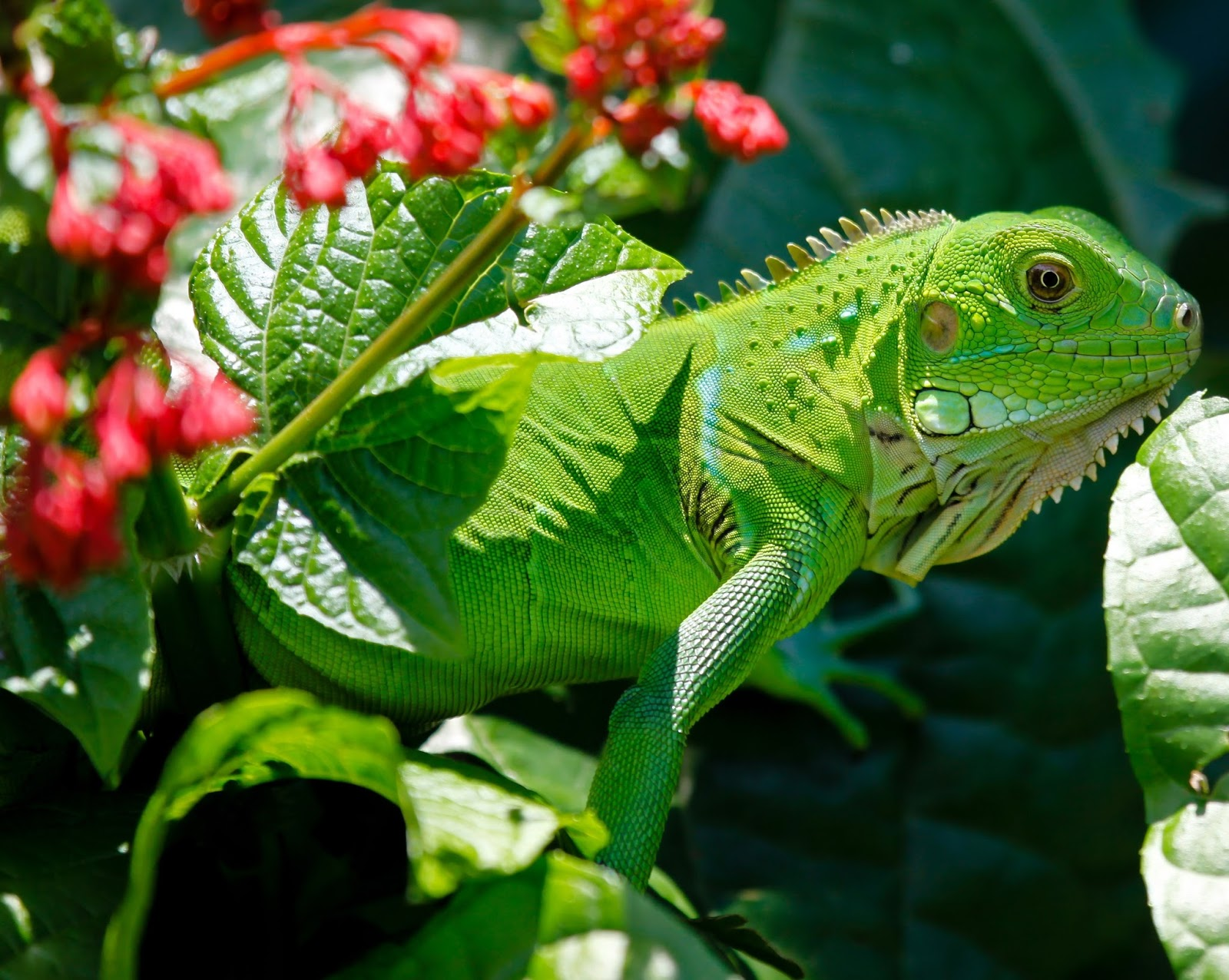 An image of a green iguana.