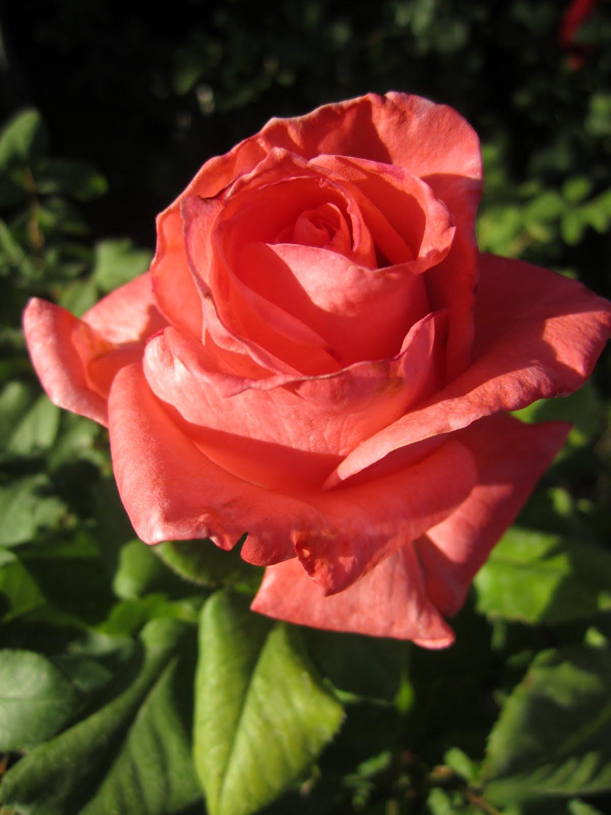 Roses In Garden: Roses {Garden}