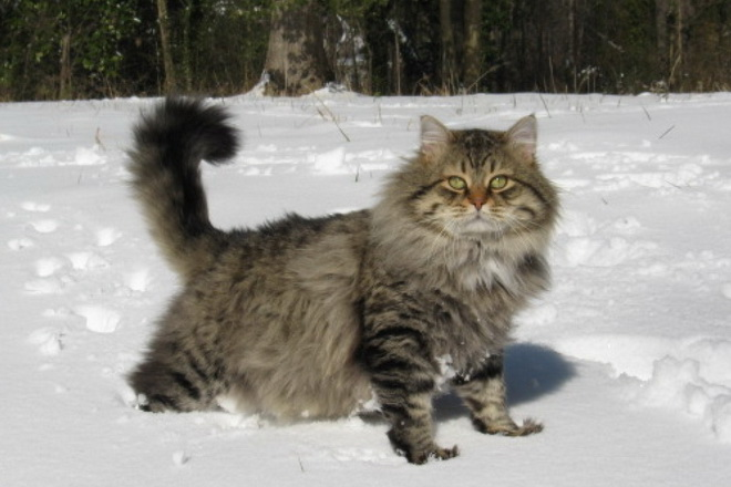 siberian forest cat breeder