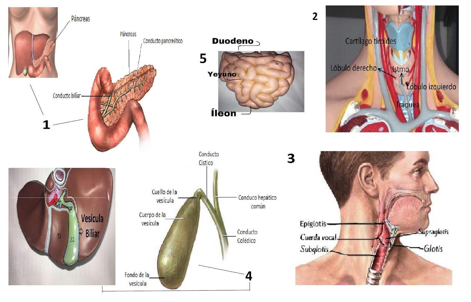 Hermosa Anatomía Aplicada De Laringe Composición - Anatomía de Las ...