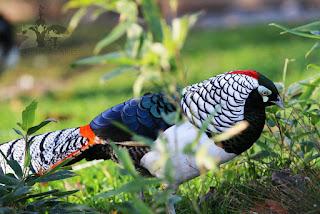 hhhh Foto Lady Amherst's Pheasant Terbaru Jual Ayam Hias HP : 08564 77 23 888 | BERKUALITAS DAN TERPERCAYA Foto Lady Amherst's Pheasant Terbaru Galeri Foto Lady Amherst's Pheasant Terbaru