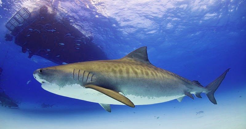50 Tiger Shark Facts Cool and