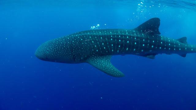 Whaleshark in Cuba