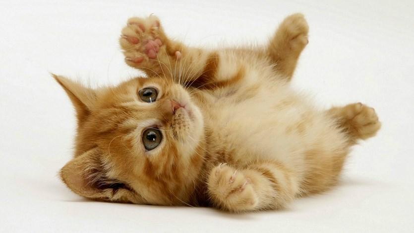 fakta unik seputar kucing makan kucing anak kucing lucu