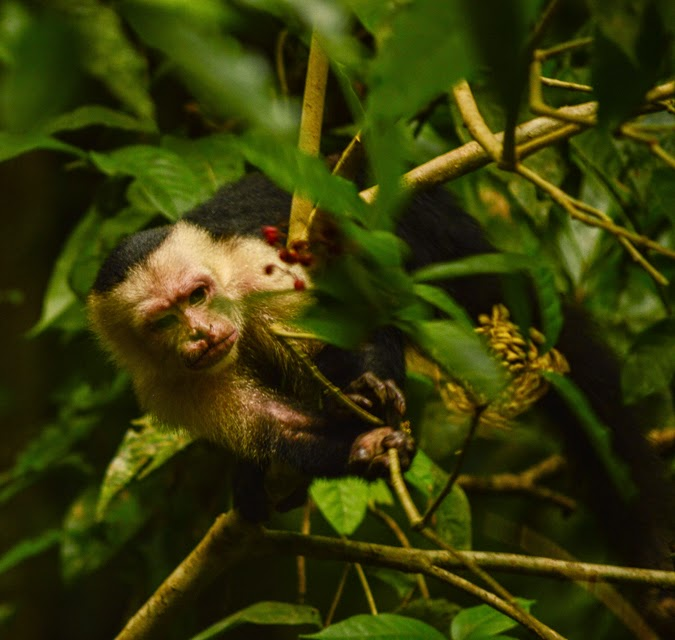 Chasing Monkeys in Tortuguero, Costa Rica on The-Lifestyle-Project.com