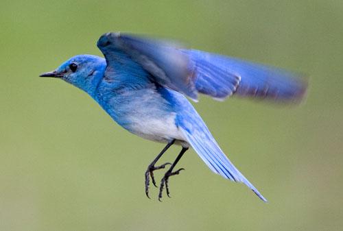 Bluebird | Wild Life Animal