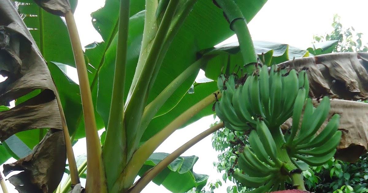 D I G This Plantain Plantation