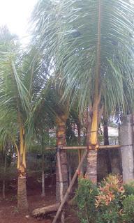 Penjual pohon kelapa kuning