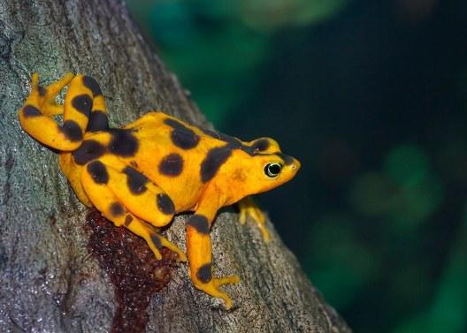 A Panamanian golden frog.