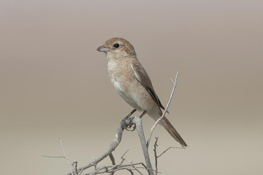 Daurian Shrike