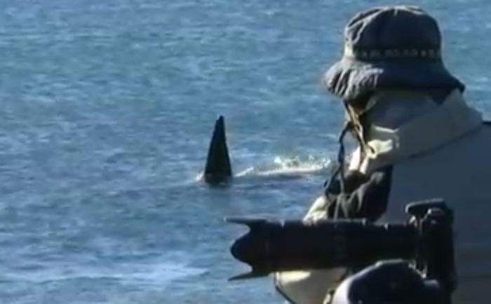 orcas en Punta Norte Peninsula Valdes