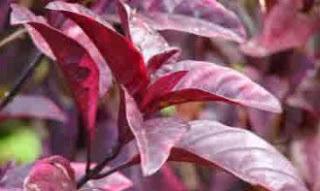 efek samping daun ungu, cara merebus daun ungu untuk ambeien cara membuat ramuan daun ungu untuk wasir cara mengobati wasir dg daun ungu resep daun ungu untuk ambeien pohon ungu obat wasir mengobati ambeien dengan daun ungu daun untuk ambeien