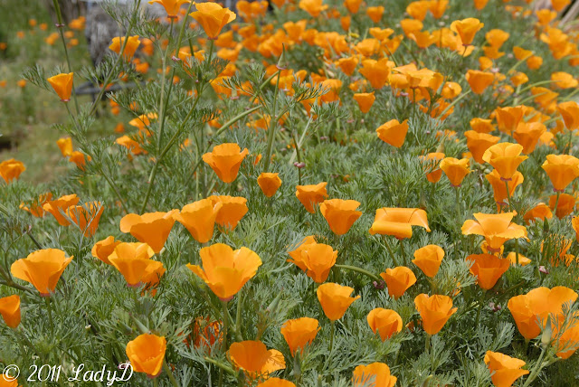 California Poppy: LadyD Books