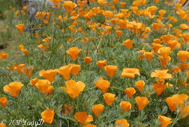 California Poppy: LadyD Books