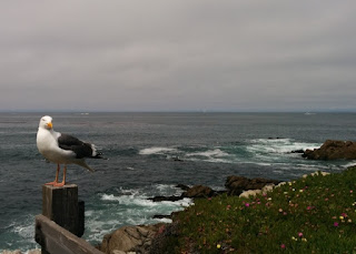 California gull on a fencepost along Monterey Bay, Pacific Grove, California