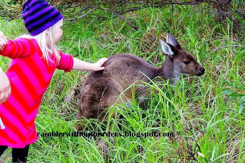 A child touch a kangaroo, Heirisson Island, Perth, WA