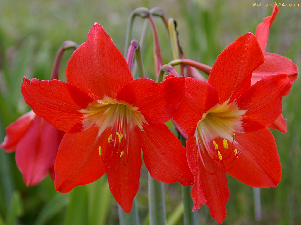 Flowers Wallpapers: Red Lilies Flowers Wallpapers