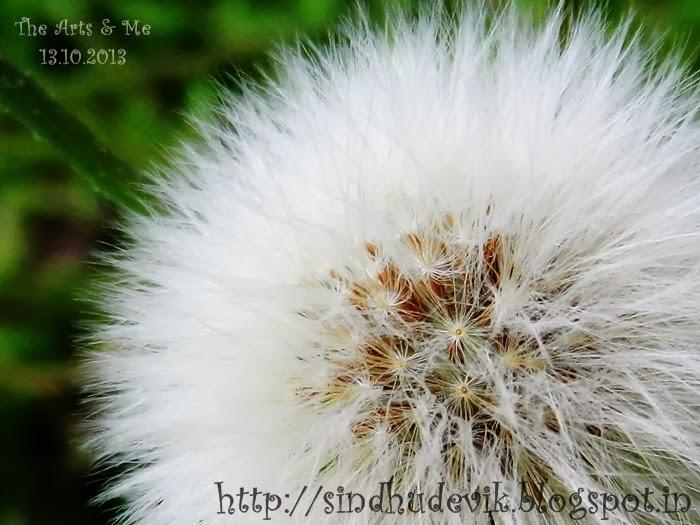 False Dandelion or Hawk's Beard fruits or seeds