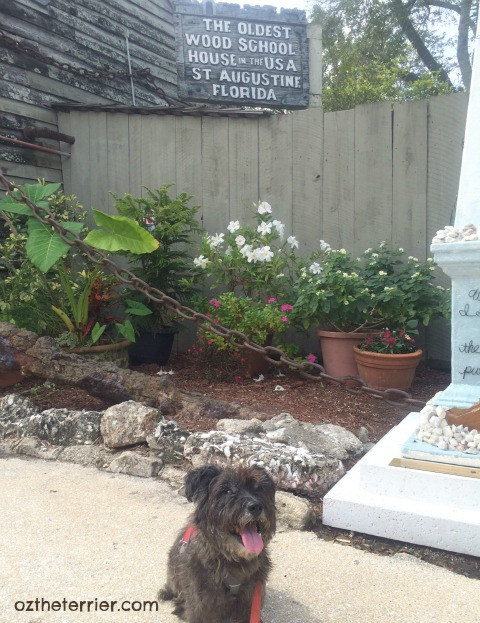 Oz the Terrier outside the oldest wooden schoolhouse in USA, St. Augustine, Florida