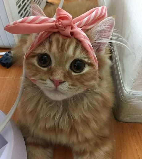 cat pretty bow tie