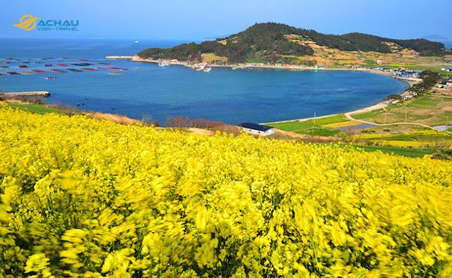 Ngắm lễ hội hoa cải khi du lịch Hàn Quốc