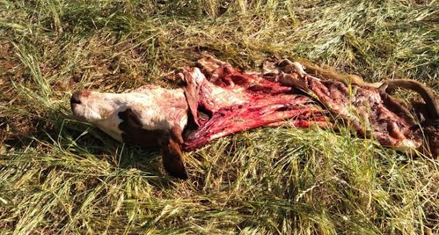 Roncador: Criminosos invadem propriedade rural, matam animais e furtam a carne