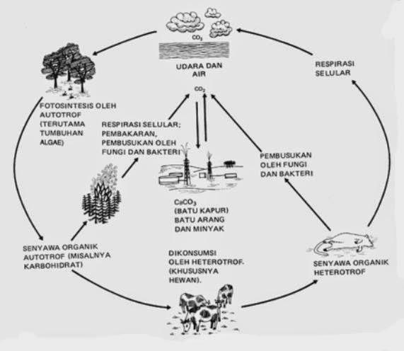 Daur karbon, pengertian ekosistem, contoh ekosistem, rantai makanan ekosistem.