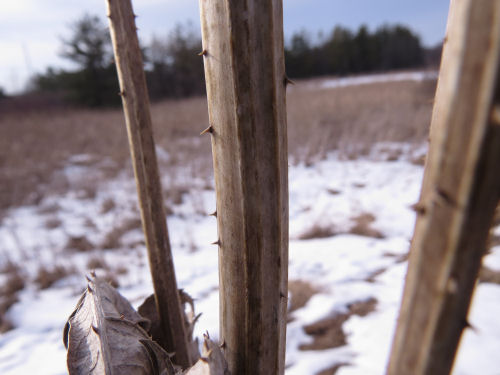 teasel stems with spines in winter