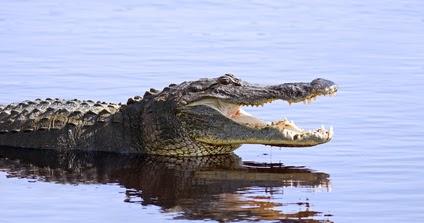 Krokodil Im Rhein