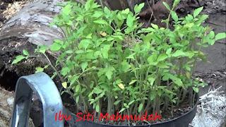 Pemanfaatan Sabut Kelapa untuk Berkebun Tomat Organik di Pekarangan Rumah