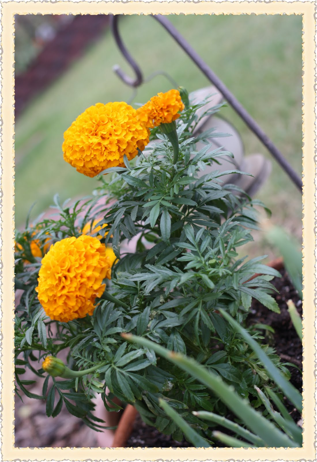 The Marigold Tarot Major Arcana The: Rose Vignettes: Fresh-Cut Friday Marigold Flower Of The Month