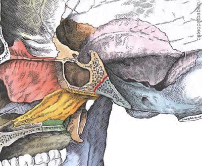 сфено-базилярный синхондроз, или synchondrosis spheno-occipitalis