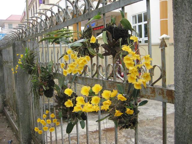 hoa lan rừng trên phố