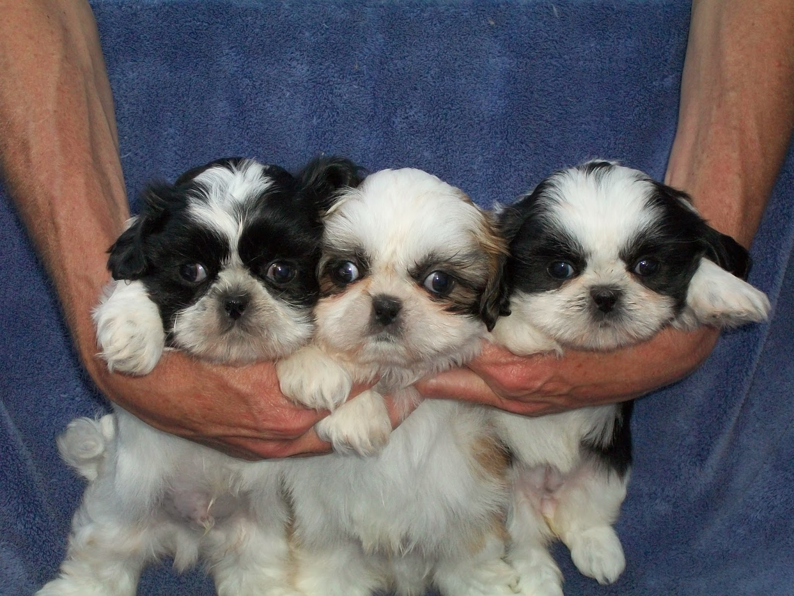 how big does a shih tzu get b c kennels shih tzus and shih poos 1681