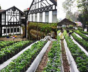 wisata kebun sayuran di natural farmhouse lembang bandung Tempat Wisata wisata kebun sayuran di natural farmhouse lembang bandung