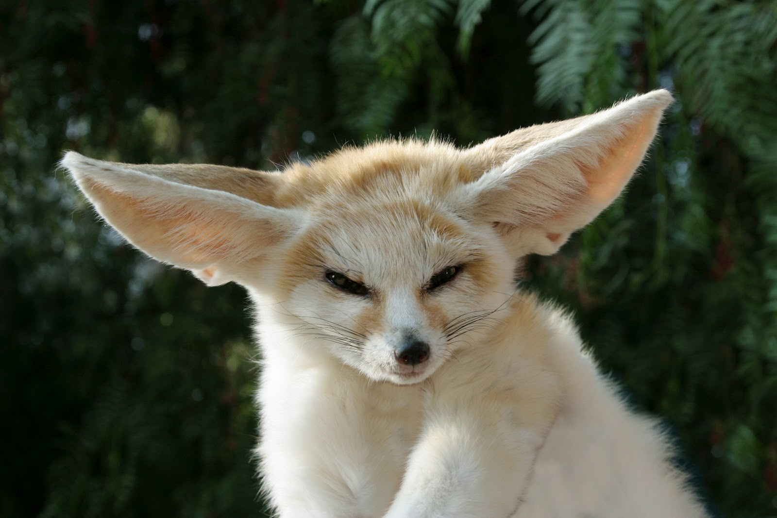 The Jungle Store The Fennec What