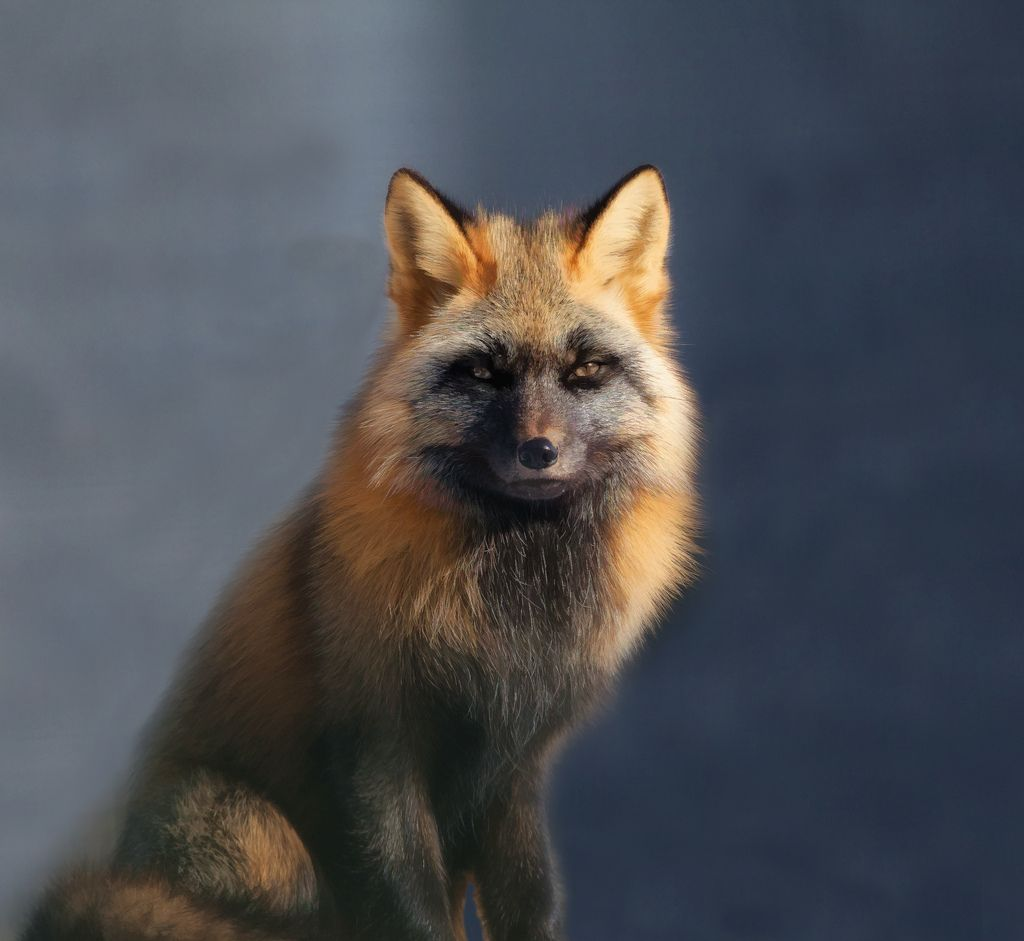 3. Red Fox Poses [Explored] by Douglas Brown