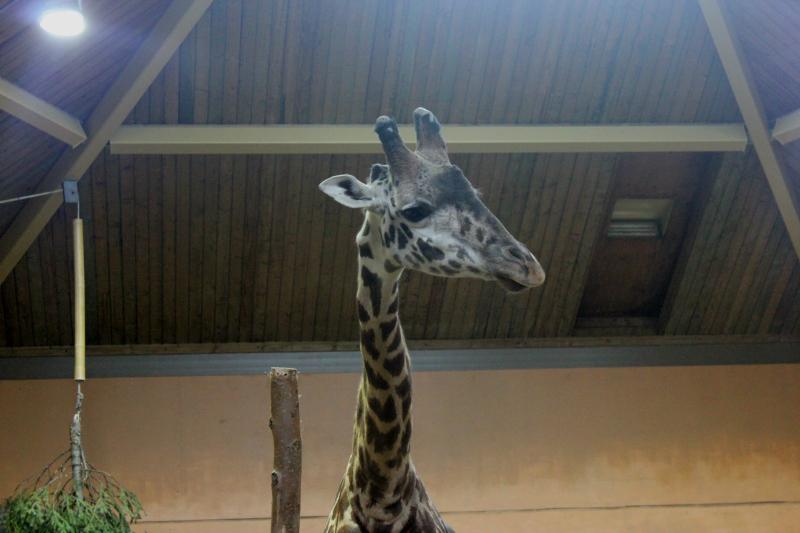 Giraffe at the Toronto Zoo