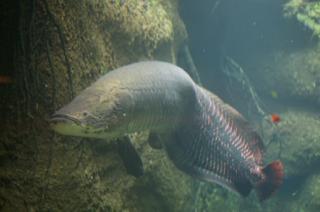 Arapaima ikan ganas dari amazon