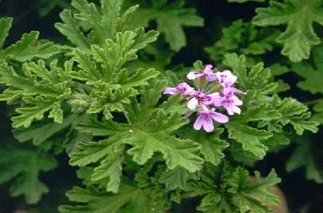 Αρμπαρόριζα Armparoriza-i-aromatiki-hriseis-idiotites1