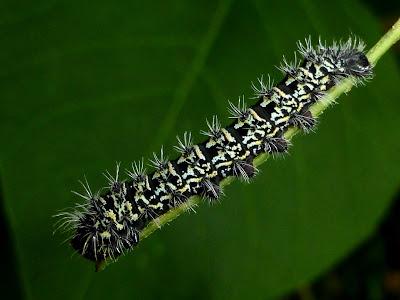 Gonimbrasia tyrrhea caterpillar