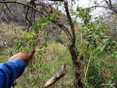 QuercusMx dándose ánimos para salir del bosque subcaducifolio  ¡Ver mano sucia!