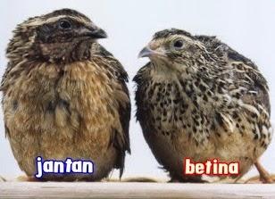 Perbedaan Burung Puyuh Jantan Dan Betina Ilmu Ternak