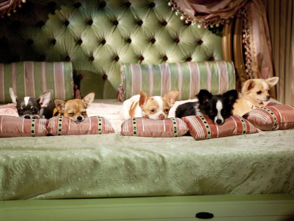 Beverly Hills Chihuahua 2