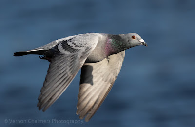Rock pigeon over the Diep River, Woodbridge Island