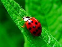 Perbedaan Kumbang dan Kepik