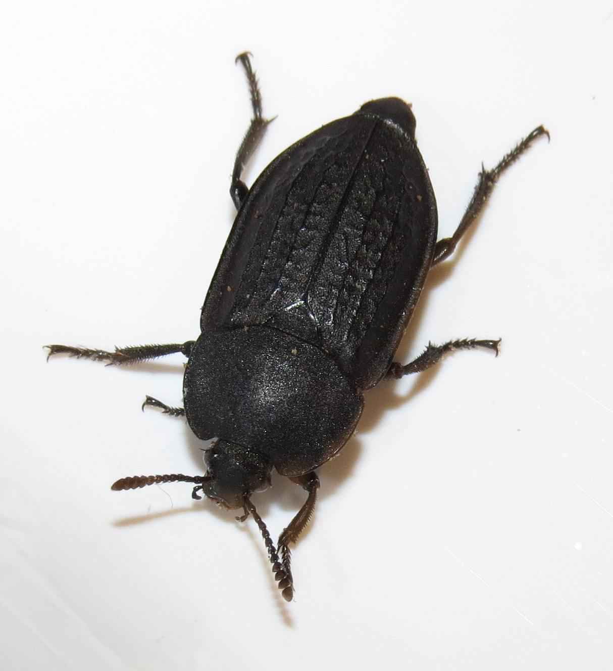 Bug Eric A Carrion Beetle That Isn T