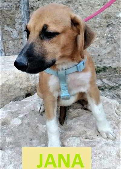 mestizos beagle 2