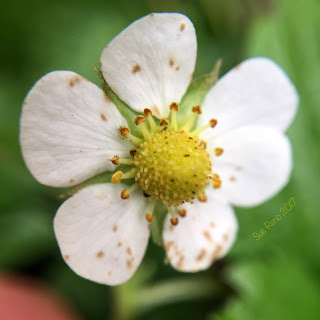 Alpine strawberry flower_Sue Reno